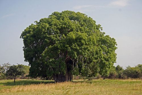 The Bagamoyo Baobab in full leaf