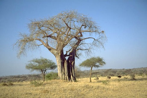 Baobab 3
