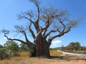 Baobab on way to Kariba